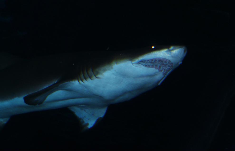 Creepy Shark Loves You By Cookiephantom