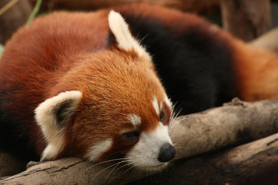 Firefox by Kriloner