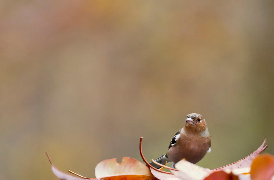 Autumn Chaff by Kriloner