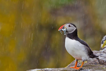 It's raining birds by Kriloner