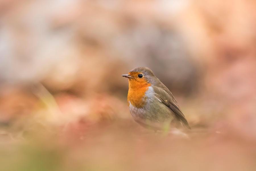 Robin / Rouge gorge by Kriloner