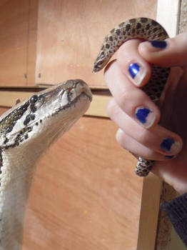 Python vs. hognose?