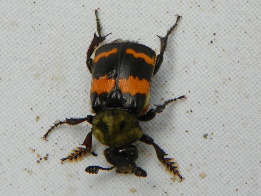 Black and Orange Striped Beetle by tiny717. Black and Orange Striped Beetle by tiny717 on DeviantArt