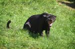 Black Jaguar 2