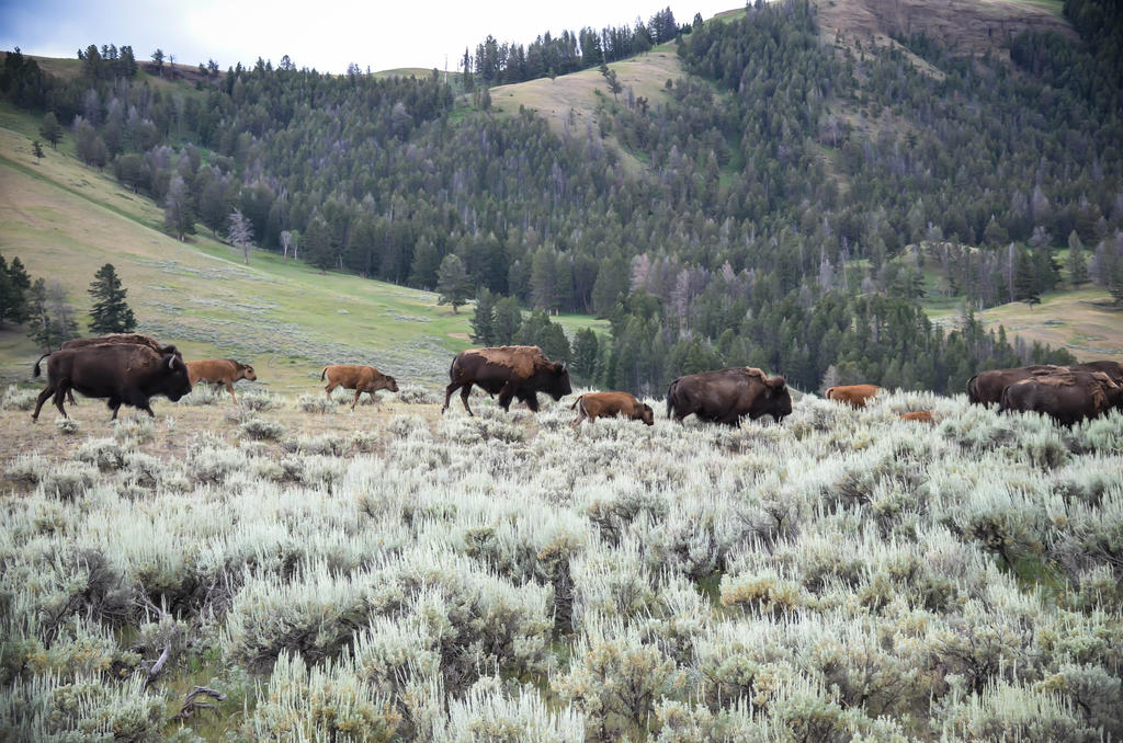 Bison Herd 15 by liorelysia