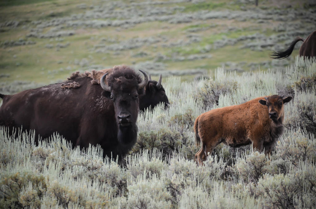 Bison Herd 14 by liorelysia