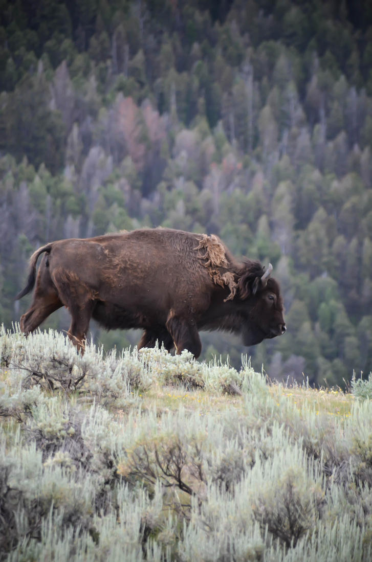 Bison Herd 13 by liorelysia