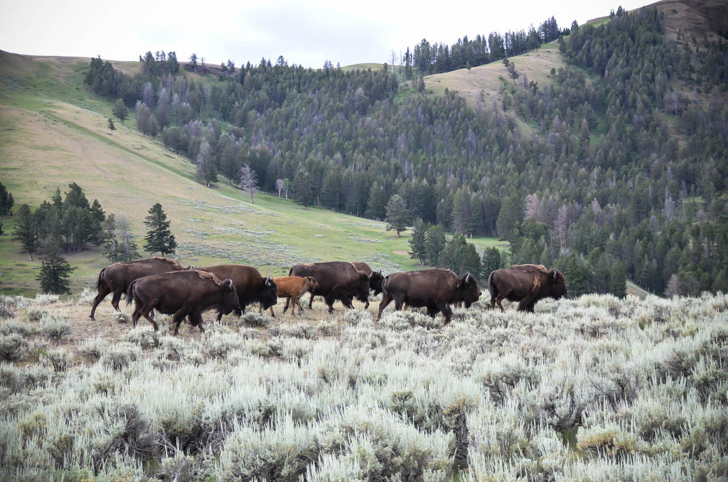 Bison Herd 12 by liorelysia
