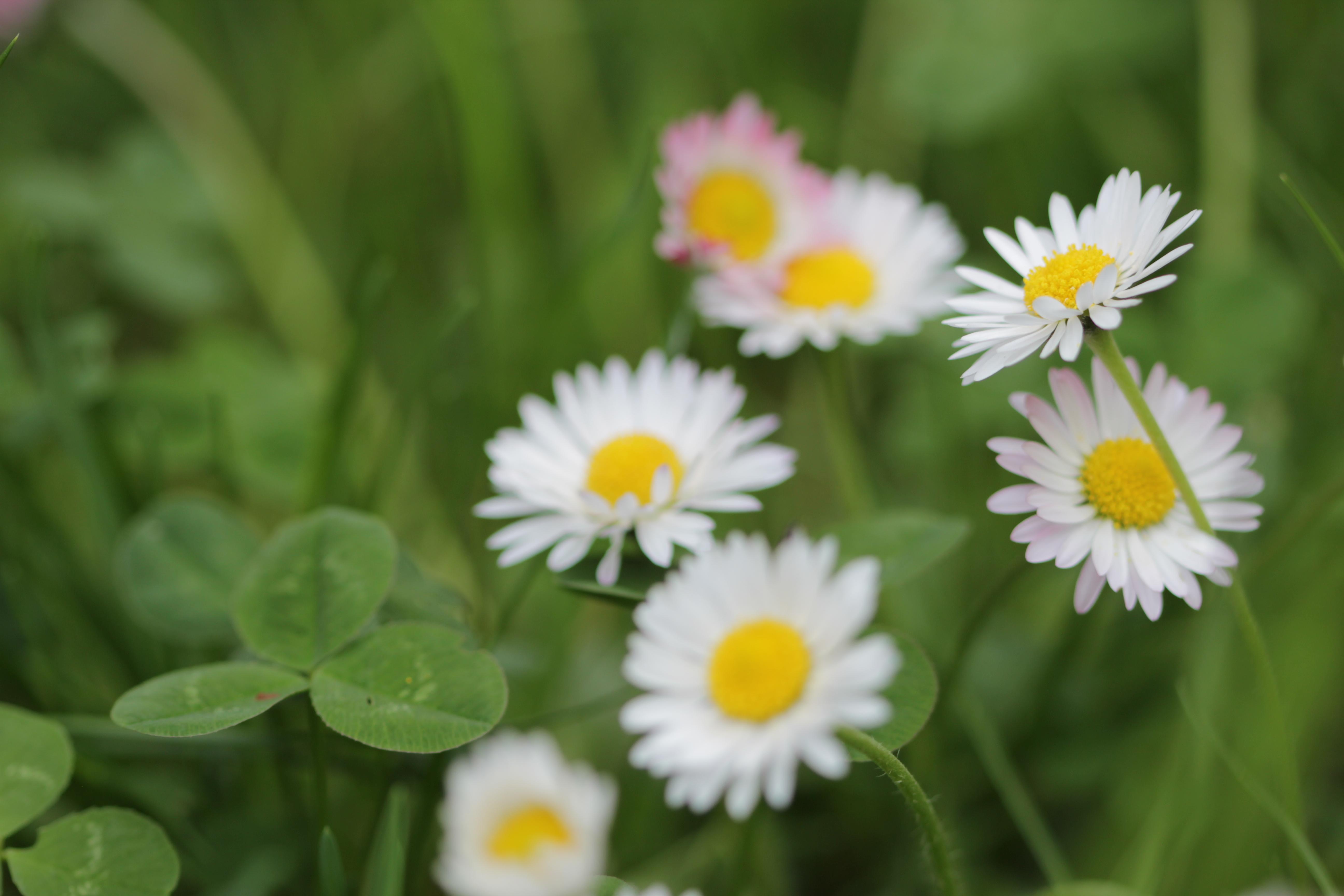 Daisy by Moi-rin