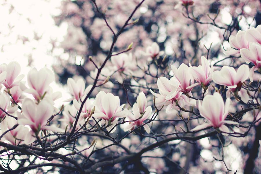 Magnolia I by Moi-rin