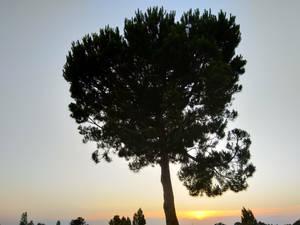 Pine tree 3