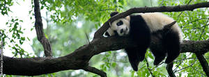 Portada Panda by DarkKlaus3