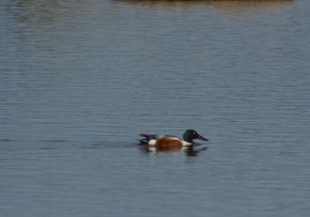 Northern Shoveler by Orkekum