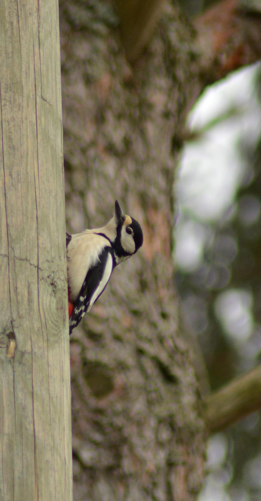 Woody woodpecker by Orkekum