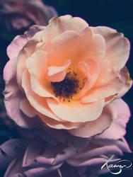 Vintage Garden Rose by KamenGregorich