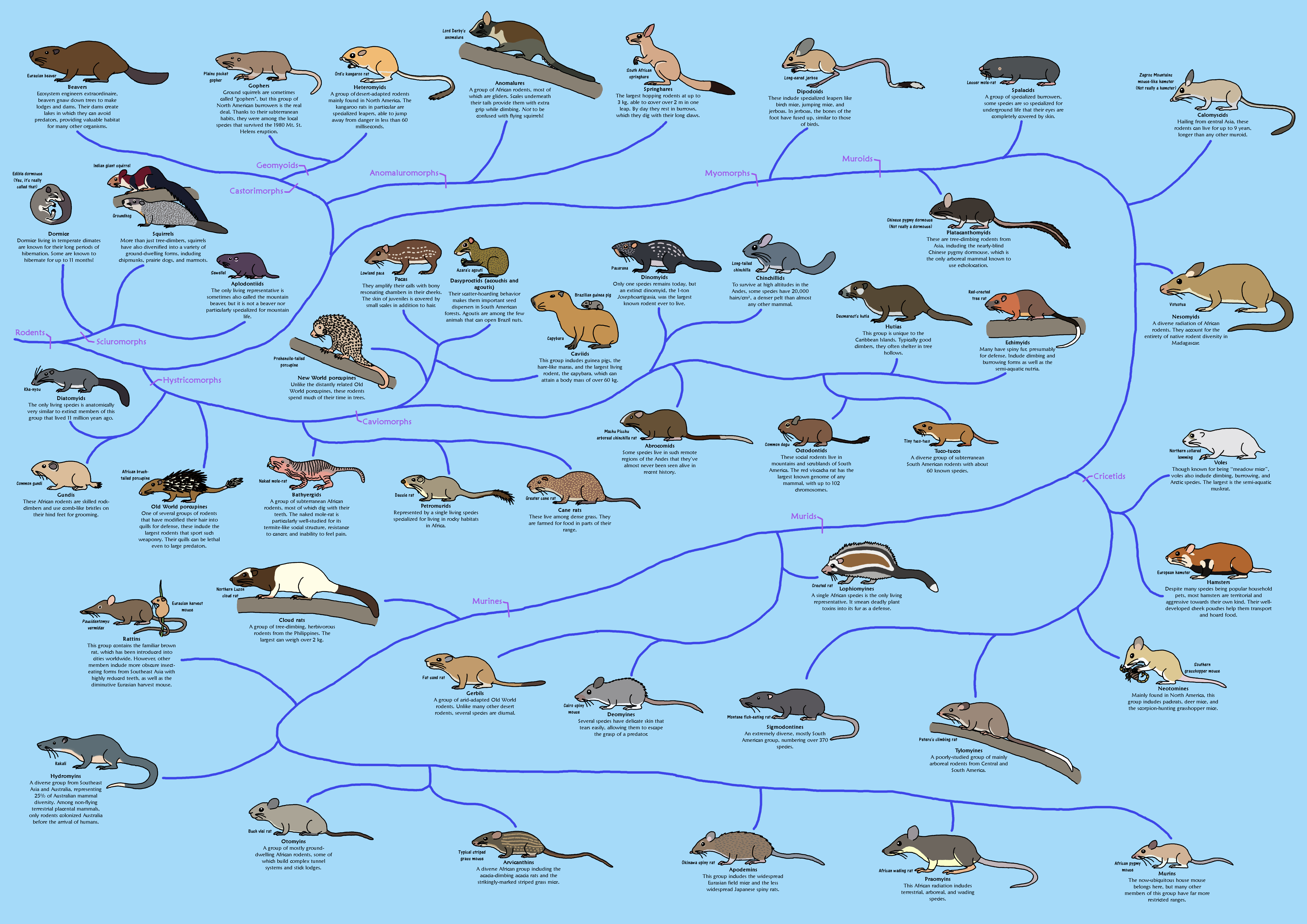 A Guide to Rodent Phylogeny