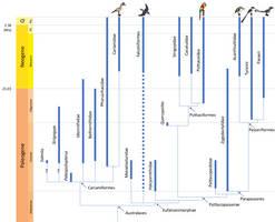 Bird Phylogeny: Australavians