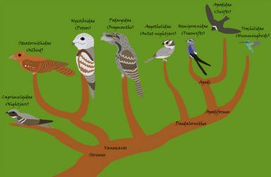 Strisores Phylogeny
