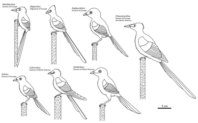 Several Coly Birds