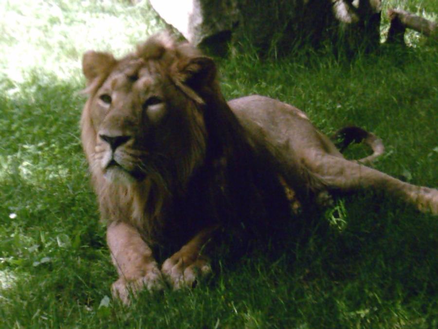 LION - panthera leo - Page 3 Beautiful_jaipur_by_lena_panthera-d23l7im