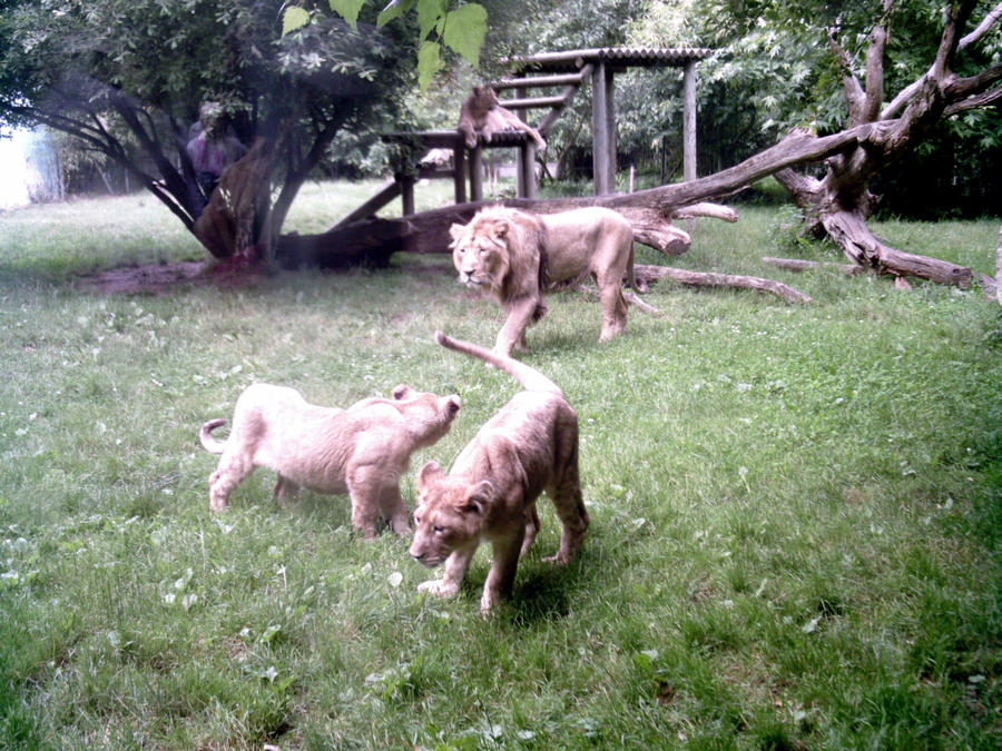 LION - panthera leo - Page 3 Lions_family_by_lena_panthera-d24speu