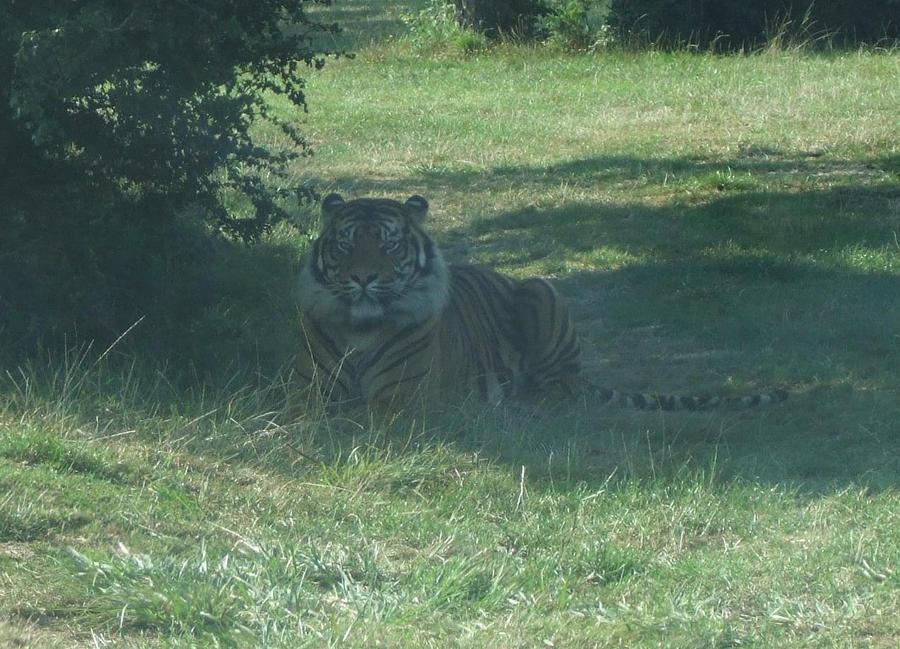 TIGRE - panthera tigris - Page 5 Tiger_by_lena_panthera-d27g4kz