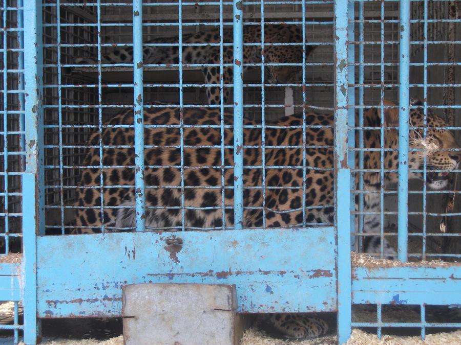 PANTHERE OU LEOPARD - Panthera pardus - Page 2 Asian_leopards_2_by_lena_panthera-d2p2dny