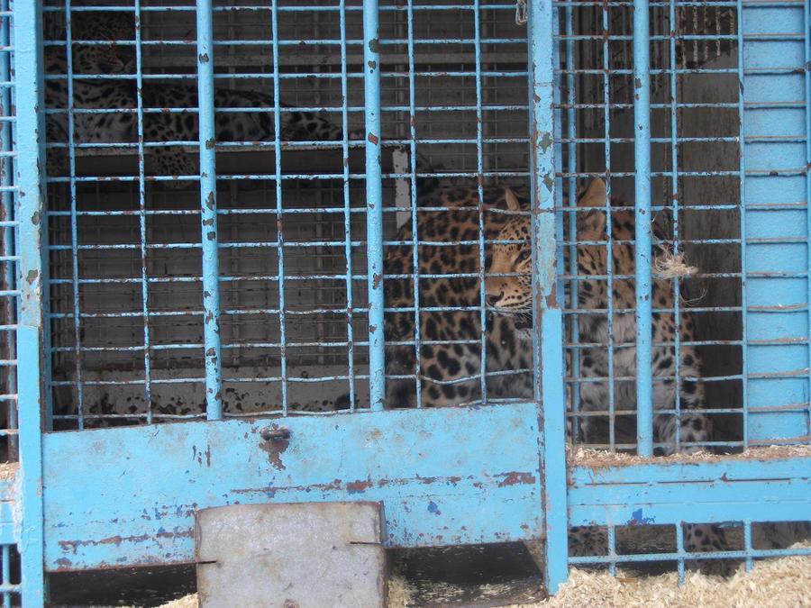 PANTHERE OU LEOPARD - Panthera pardus - Page 2 Asian_leopard_6_by_lena_panthera-d2p2dv5