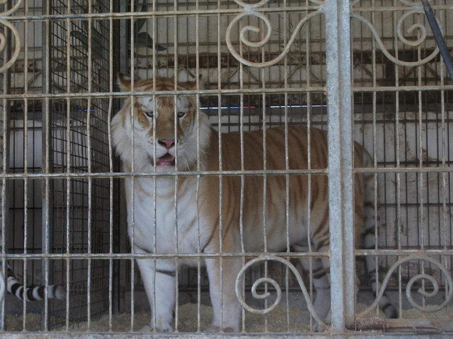 TIGRE - panthera tigris - Page 5 Golden_tabby_bengal_tiger_by_lena_panthera-d2pl8gr
