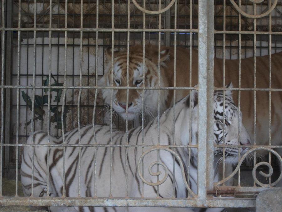 TIGRE - panthera tigris - Page 5 Tigers_by_lena_panthera-d2pl8s7