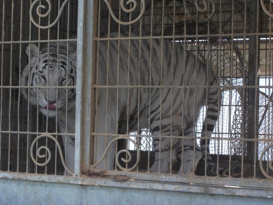 débat sur les tigres ou les lions blanc : sont ils utiles ou pas dans les zoos ? - Page 2 White_tigress_by_lena_panthera-d2pl9dn
