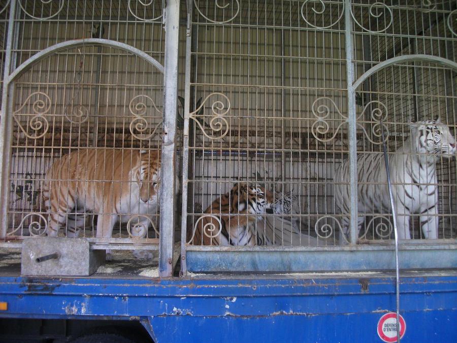 débat sur les tigres ou les lions blanc : sont ils utiles ou pas dans les zoos ? - Page 2 Three_colors_2_by_lena_panthera-d2pla5e