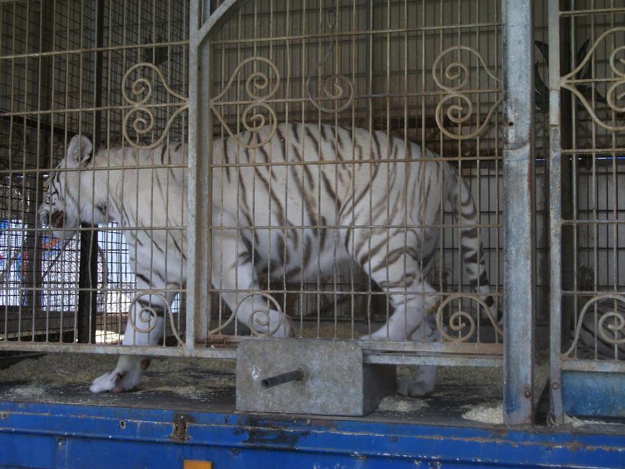 débat sur les tigres ou les lions blanc : sont ils utiles ou pas dans les zoos ? - Page 2 White_tigress_3_by_lena_panthera-d2pla98