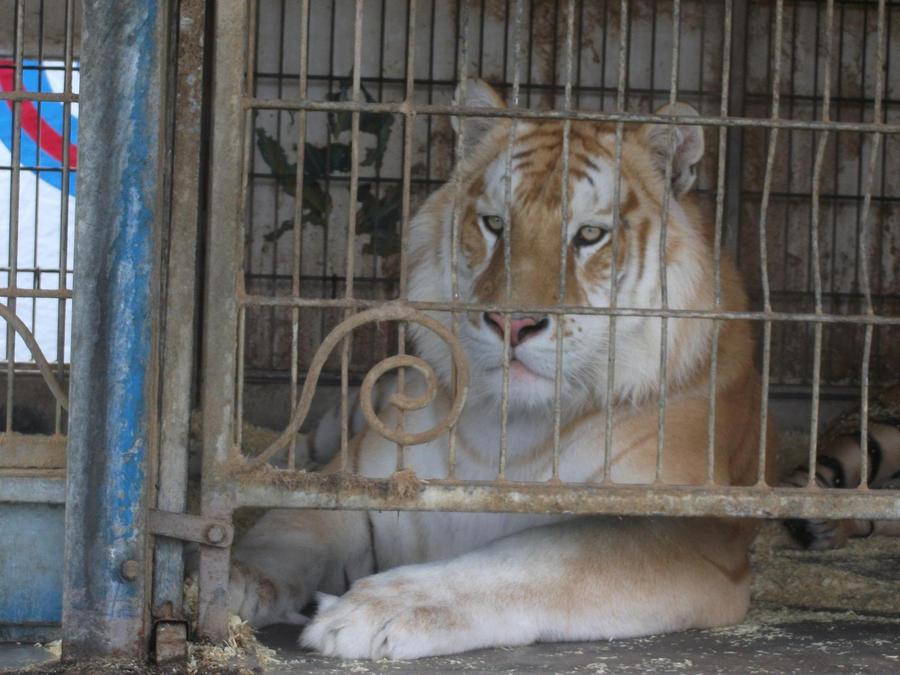 TIGRE - panthera tigris - Page 5 Golden_tabby_bengal_tiger_9_by_lena_panthera-d2plbah