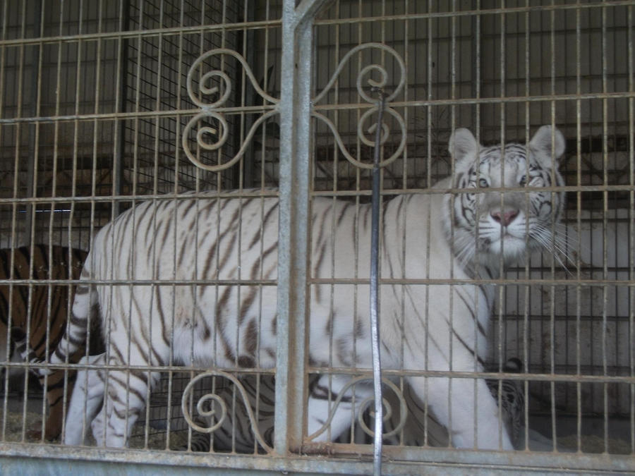 TIGRE - panthera tigris - Page 5 White_tigress_4_by_lena_panthera-d2plbw9