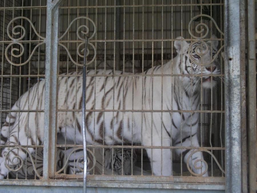 débat sur les tigres ou les lions blanc : sont ils utiles ou pas dans les zoos ? - Page 2 White_tigress_5_by_lena_panthera-d2plby0