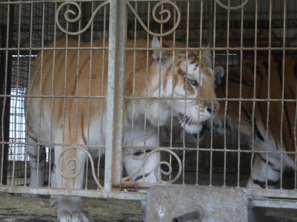 débat sur les tigres ou les lions blanc : sont ils utiles ou pas dans les zoos ? - Page 2 Golden_tabby_bengal_tiger_22_by_Lena_Panthera
