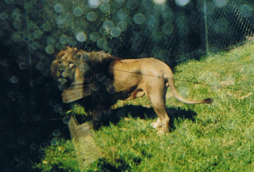LION - panthera leo - Page 3 Old_photo_of_an_Atlas_lion_by_Lena_Panthera