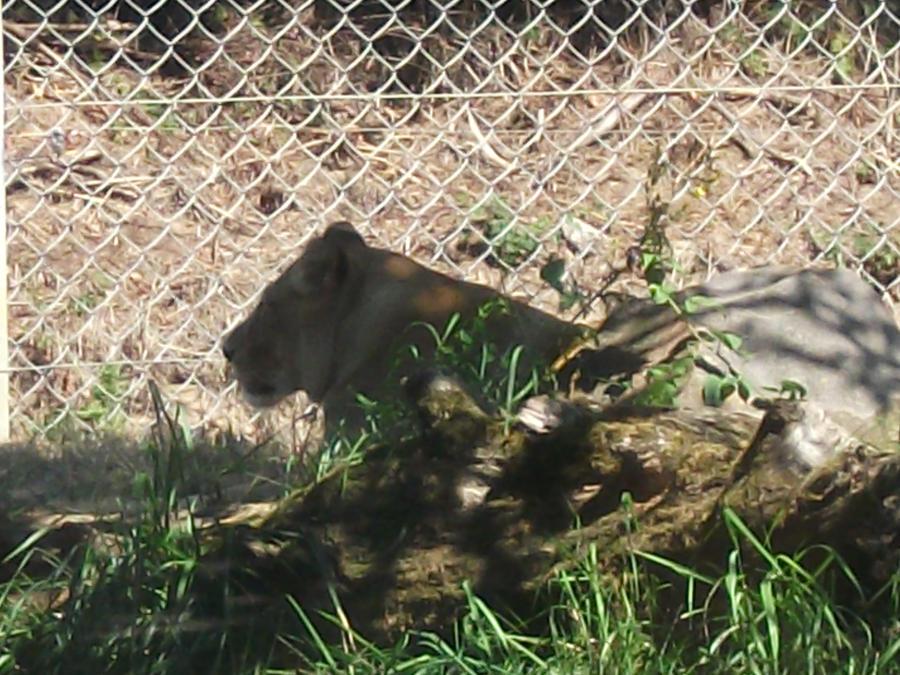 LION - panthera leo - Page 3 Jerada_the_atlas_lioness_by_lena_panthera-d2wuf85