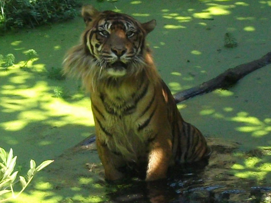 TIGRE - panthera tigris - Page 5 Mr_tiger_and_his_side_whiskers_by_lena_panthera-d2x2fi3