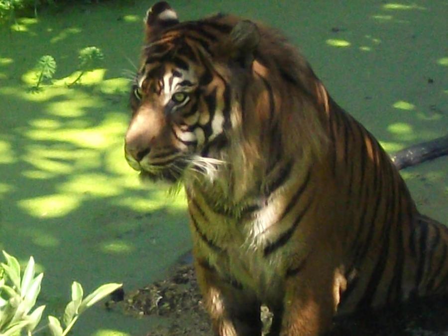 TIGRE - panthera tigris - Page 5 Oh_just_tourists_again_by_lena_panthera-d2x2igo