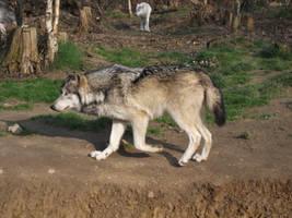 2011 - Alaskan wolf 25 by Lena-Panthera