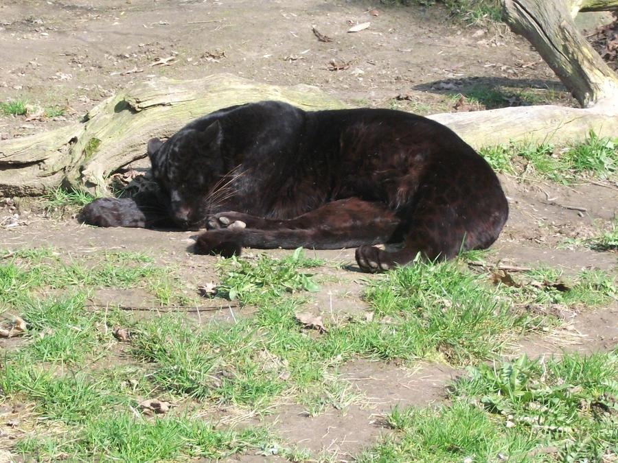 PANTHERE OU LEOPARD - Panthera pardus - Page 3 2011___black_leopard_cub_2_by_lena_panthera-d3b9e8x