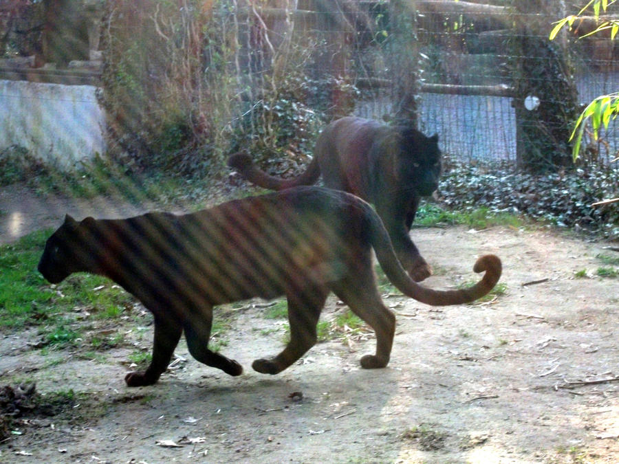 PANTHERE OU LEOPARD - Panthera pardus - Page 2 2011___black_leopard_3_by_lena_panthera-d3b9eip