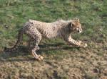 2011 - Cheetah cub 5