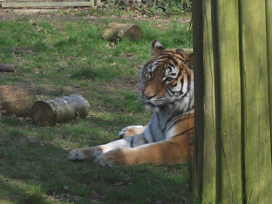 TIGRE - panthera tigris - Page 5 2011___tigress_2_by_lena_panthera-d3bbweb