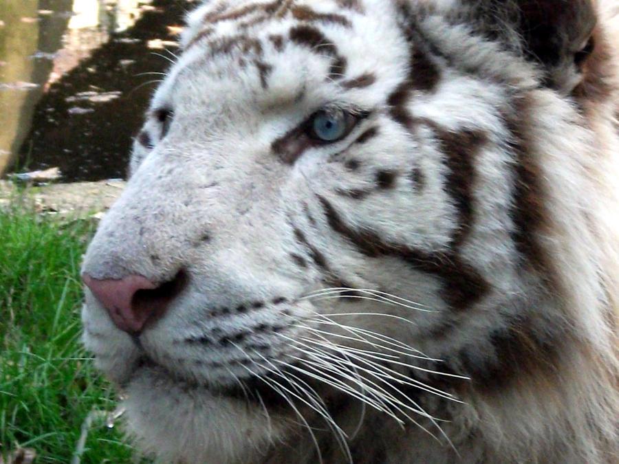 débat sur les tigres ou les lions blanc : sont ils utiles ou pas dans les zoos ? - Page 2 2011___white_tiger_14_by_lena_panthera-d3bbxql