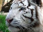 2011 - White tiger 14