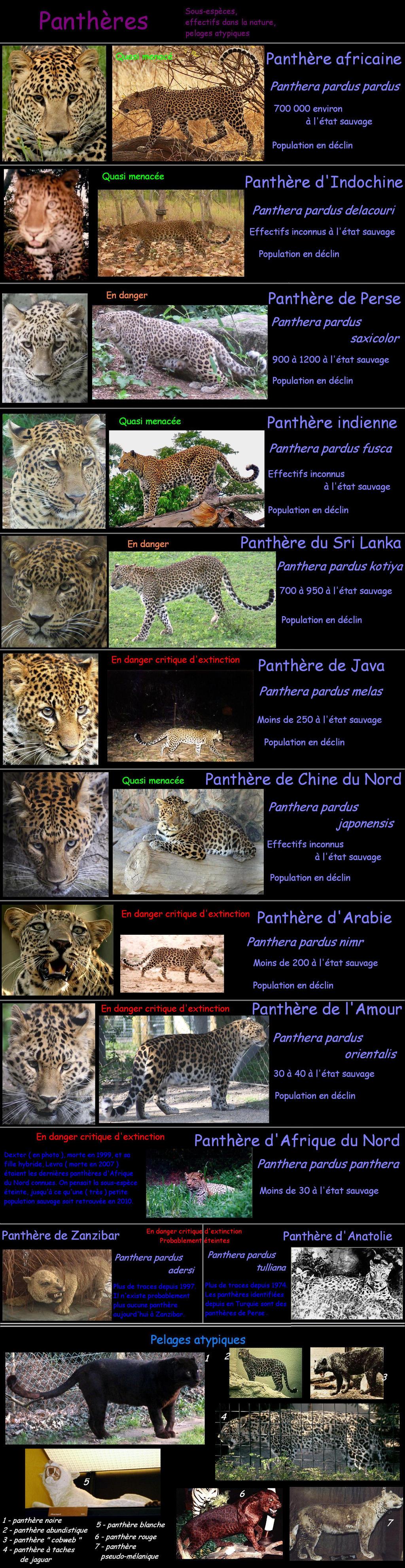 PANTHERE OU LEOPARD - Panthera pardus - Page 2 Leopard___subspecies__colors_by_lena_panthera-d3jqv6i