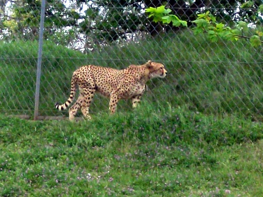 2012 - Cheetah by Lena-Panthera